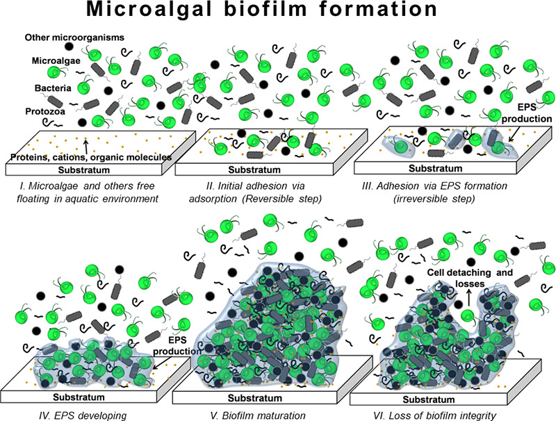 Microalgal biofilms: A further step over current microalgal cultivation techniques